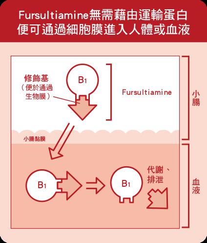 Fursultiamine無需藉由運輸蛋白便可通過細胞膜進入人體或血液